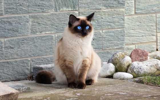 кот, сиамский, порода, similar