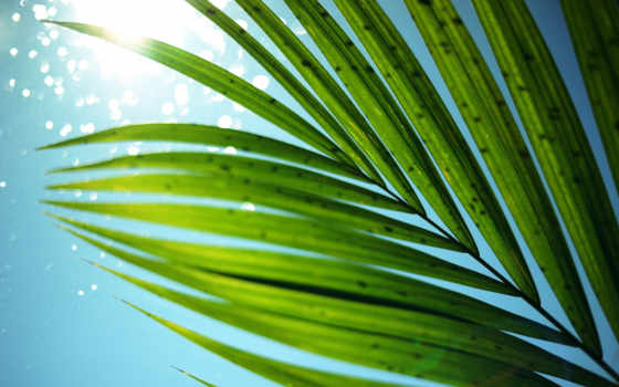 листья, пальма