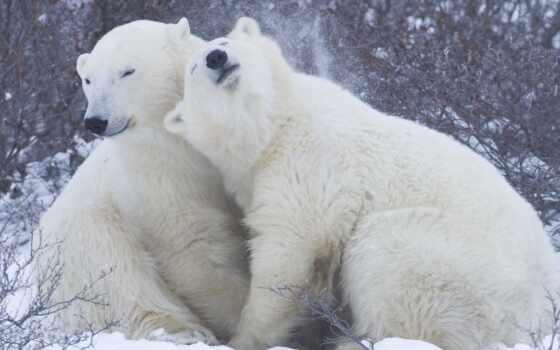 медведи, пара, медведь