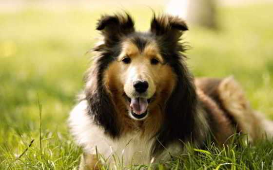 колли, собака, порода
