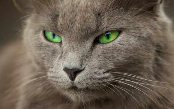 глазами, кот, серый, зелёными, кошки, кота,