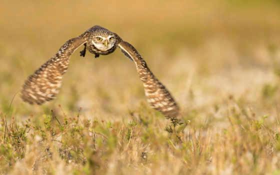 сова, природа, птица, flying, sokolov, high, resolution,