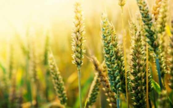 пшеница, поле, макро, колосья,