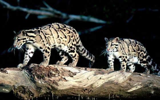 леопард, дымчатый, леопарды, мех, леопарда, taiwan, smartphone, бревне, туры, дымчатого,