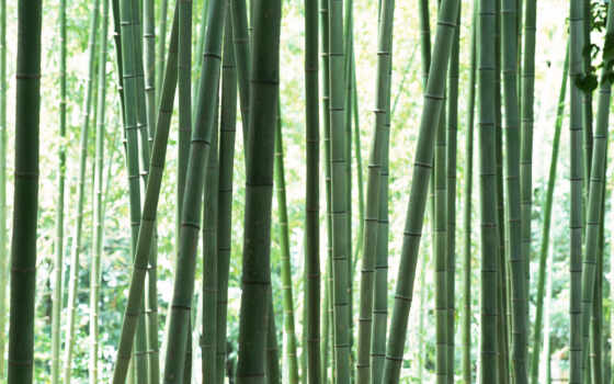стебли, бамбука