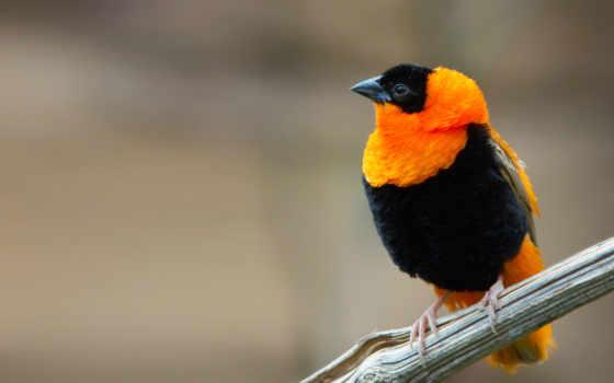 просто, красивая, птаха, oriol, картинка, картинку, fotografia, una, color, llamado, pájaro, naranja, negro, con,
