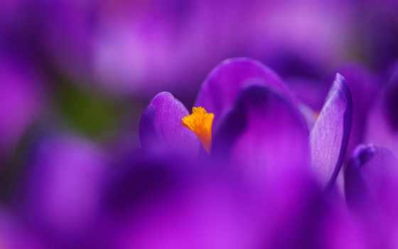 cvety, vesna, крокусы Фон № 61700 разрешение 2560x1600