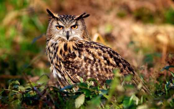 сова, ушастая, zhivotnye, свет, природа, птица,