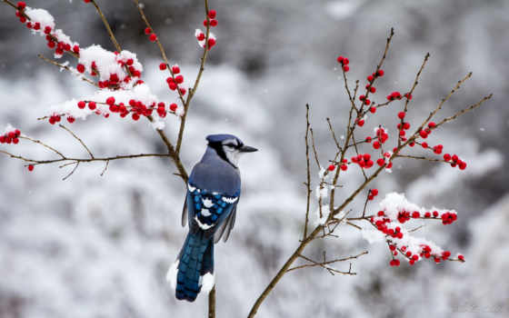 джей, blue, снег, птица, winter, birds, berries, ветви,
