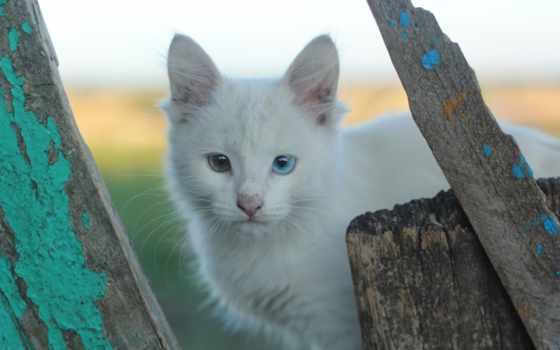 heterochromia, кошки, глаз, белые, different, color,