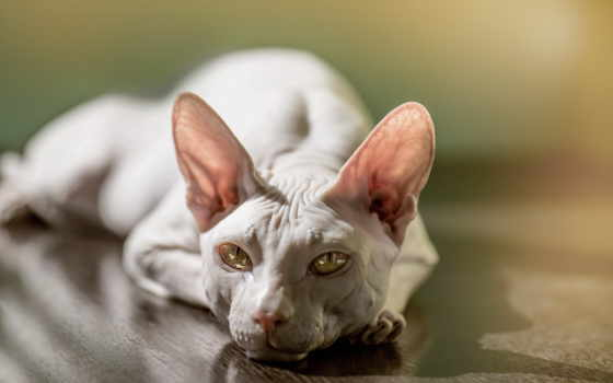 сфинкс, кот, взгляд, свет, породы, zhivotnye, канадский, морда,