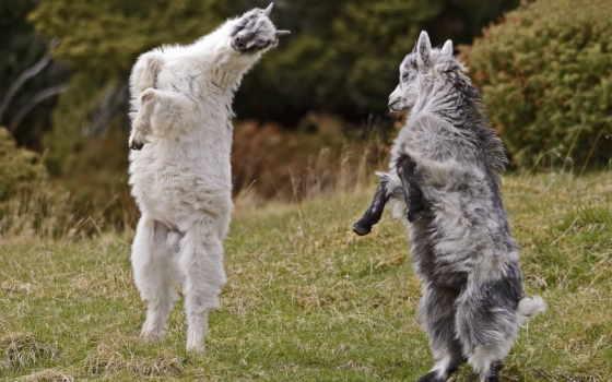 козел, goats, cute