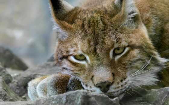 рысь, кот, глаза, ложь, animal, камень, хищник, канада