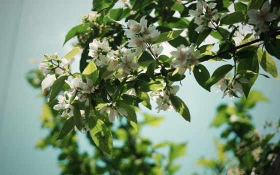 ветки, дерево, цветы
