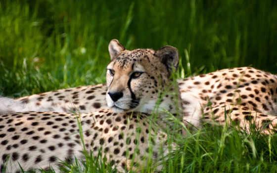 animals, гепард