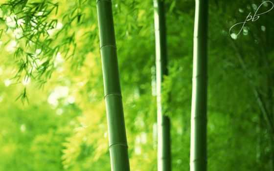 бамбук, бамбуковые, листва, лес, макро, красивые,