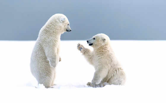 медвежата, белые, друзья, медведи, bears, desktop, янв,