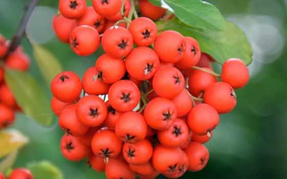рябина, branch, ягоды