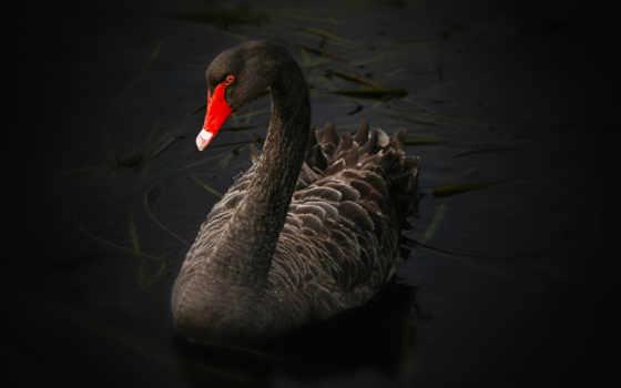 лебедь, лебеди, black, два, лебедя, озере, разделе, лебедей,