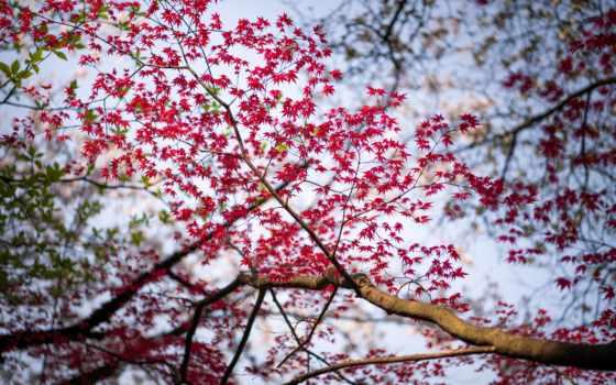 ,, дерево,, цветок, весна, цвет, листья, красный, древесные растения, цветение вишни, лиственный, небо