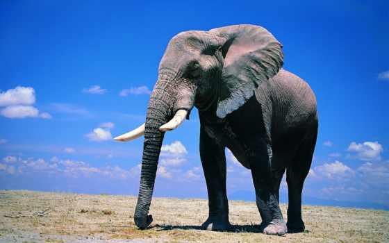 слоны, wallpapers