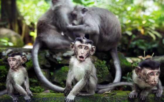 обезьяны, природа, животные
