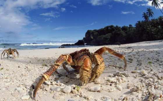 crab, краба, кокосовый, тихого, вор, palm, океана, побывали, свою, добычу, путешественники,