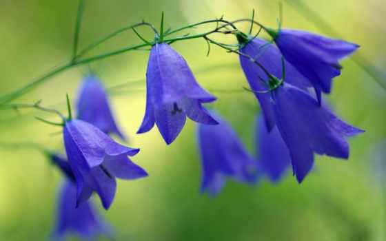 ,, цветок, цветковое растение, колокольчик, bellflower family, завод, синий, колокольчик, лепесток, полевой цветок, лобелия, полевой цветок