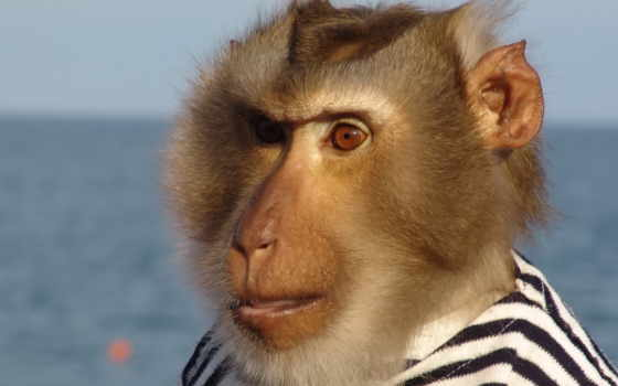 обезьяна, моряк, telnyazhka, barodatyi, animal, африка