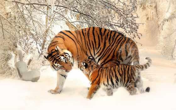 тигр, tigrar, tigern, med, сом, upload, animal, река, компьютер, live, och