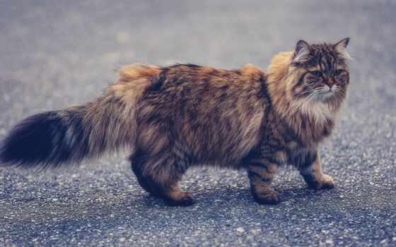 кот, manx, порода, pet, волосы, long, браун, tabby, длинношерстный, cymric, пушистый