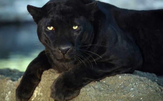 пантера, черная, животные