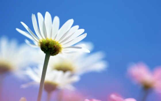 ромашки, цветы, bridget