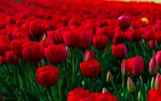 тюльпаны, поле, красные, cvety, тюльпанов, тюльпани, margin, красных, червоні, тюльпанами,