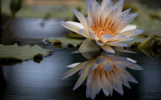 tapety, lilia, tapet, kwiaty, wodna, zdjęcia, pulpit, znajdziesz, lilie, пл,