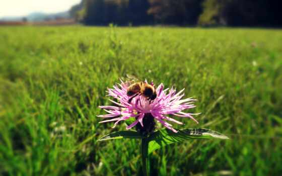 чертополох, цветы, природа, purple, white, animal, растение, пчелка, рост, зелёный, красавица