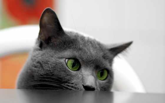кот, bombay, глаз, hotel, картинка, ready, blue, russian