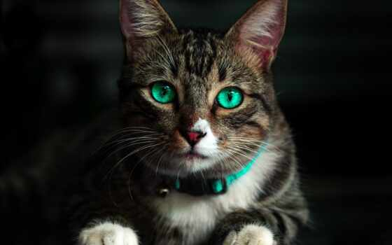 кот, white, bakenbarda, permission, animal, глаз, feline, striped, цапля, морда