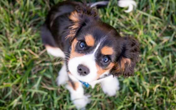 perro, dato, curioso, щенок, собака, енот, makryi, трава, permission