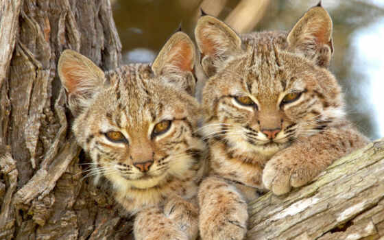 рысь, анимация, рысенок, кот, дерево, котенок, wild, animal, детёныш, гифка, пара
