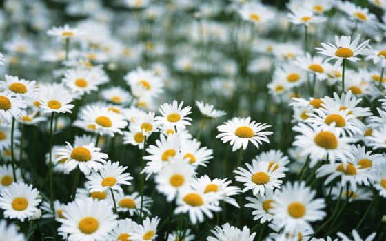 ромашки, поле, цветы, полевые, лето, fotiko, нравится, ромашка,