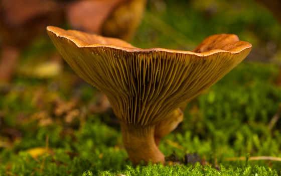 мох, осень, гриб, природа, макро, переходов,