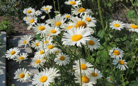 цветы, ромашки, много