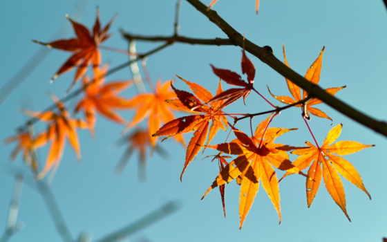 листья, осень, branch, red, природа, maple, фон, resolution, desktop,