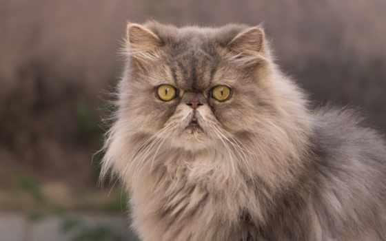 кот, фотографий, персидская, пушистый, компьютер, desktop, пл, разрешений, мар,
