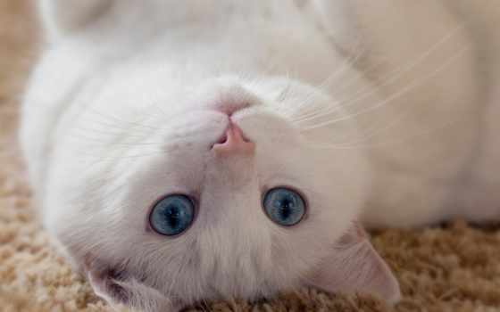 кот, white, свет, белая, спине, ус, лежит, голубоглазый, ушки,