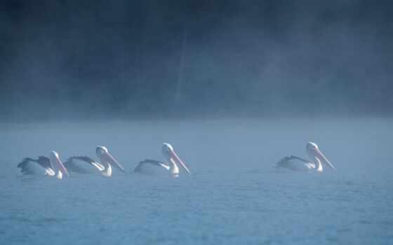 water, птица, прогулка, term, perth, озеро, herdsman, видов