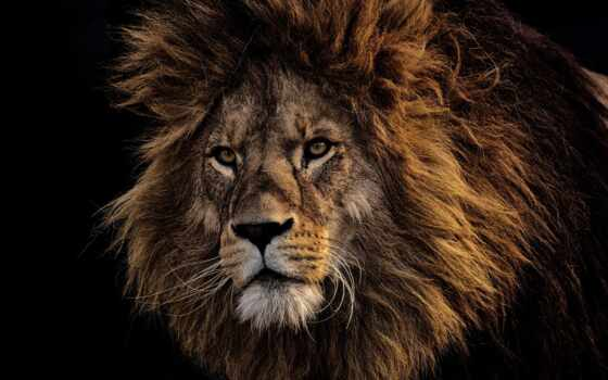 lion, left, планшетный, кавказ, устройство, frend, handpick, see, similar, ava