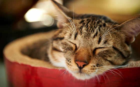 кот, sleeping, zhivotnye, colibri, oboi, метки, кошак, домашний, млекопитающие,