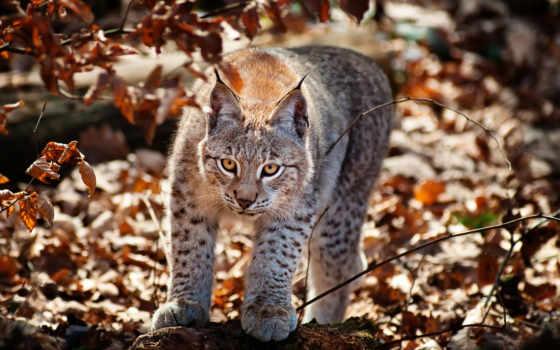 рысь, лесу, осеннем, лес, осень, рыси, хищник, канадская, zhivotnye, фотографий, кот,